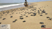 VIDEO: Over 14 Million Olive Ridley Turtle Babies Scramble Towards The Sea