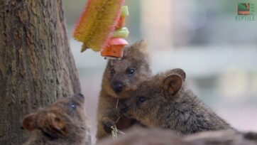 Quokkas preparing for their meal in the Australian Reptile Park. (Australian Reptile Park)