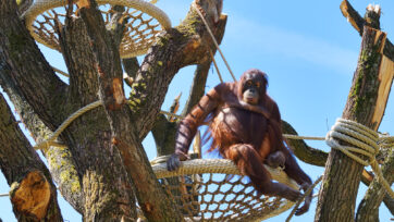 Female orangutan Sari at the Tiergarten Schonbrunn Zoo in Vienna, Austria. (Norbert Potensky/Zenger News)