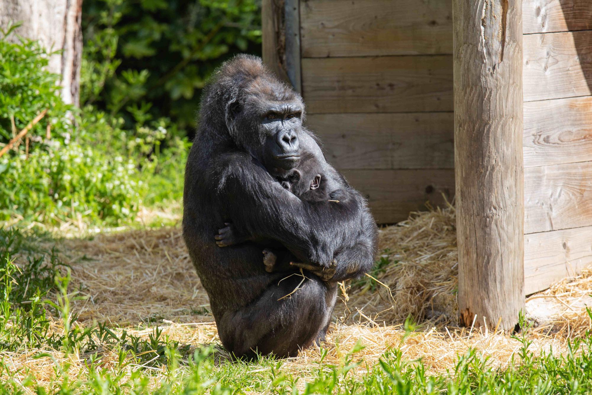 VIDEO: Surrogate Mom Raises Baby Gorilla
