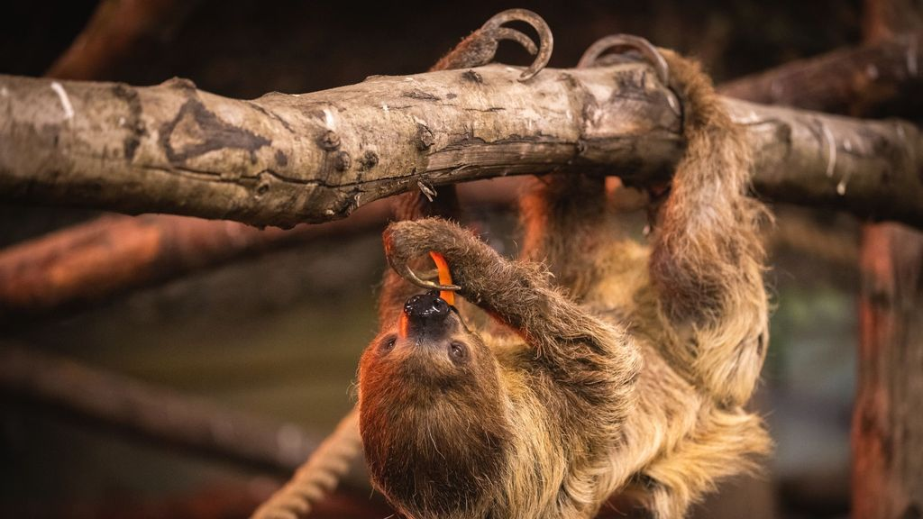 VIDEO: Slowing Down: Senior Sloths Move Into Their Retirement Home