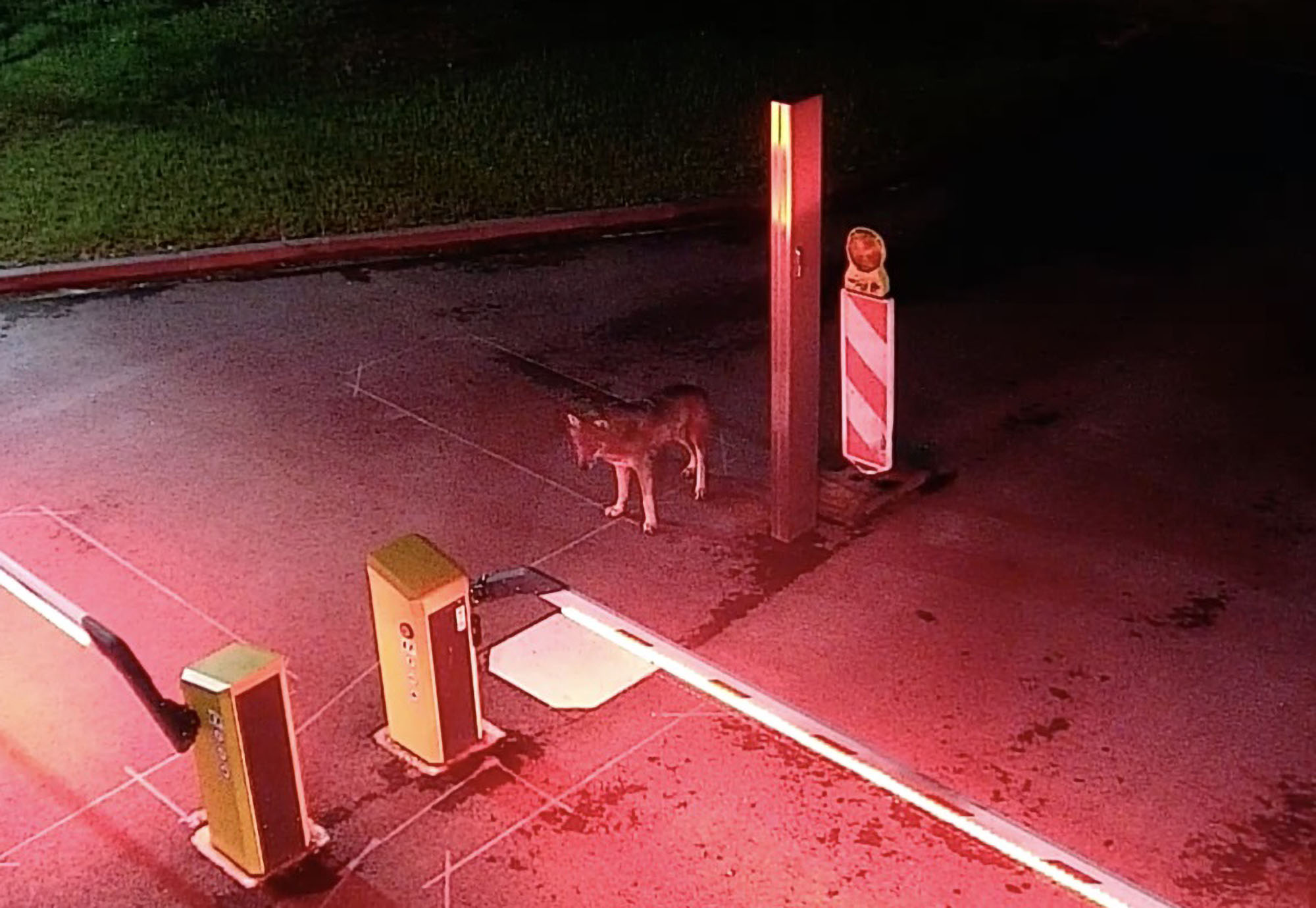 VIDEO: Howl I Get Out Of Here? Lost Wolf Prowls City Power Plant