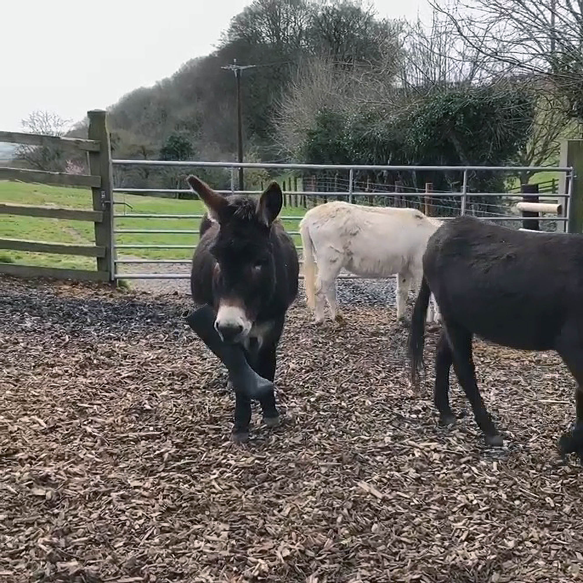 VIDEO: Uh-Oh Someone's In For An Ass Kicking: Adorable Donkeys Romp With Galoshes
