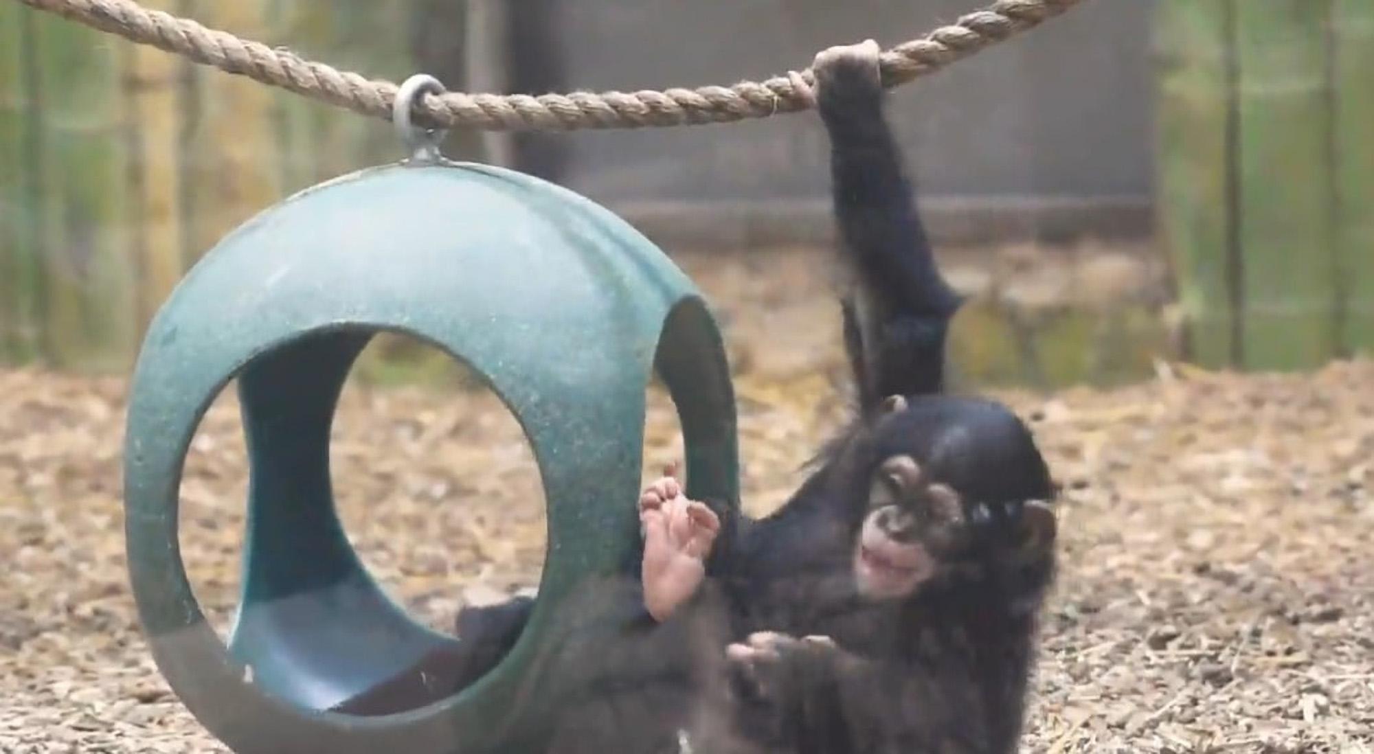 VIDEO: Chimpan-See: Baby Lola Desperate To Grab Pink Blanket That Caught Her Eye