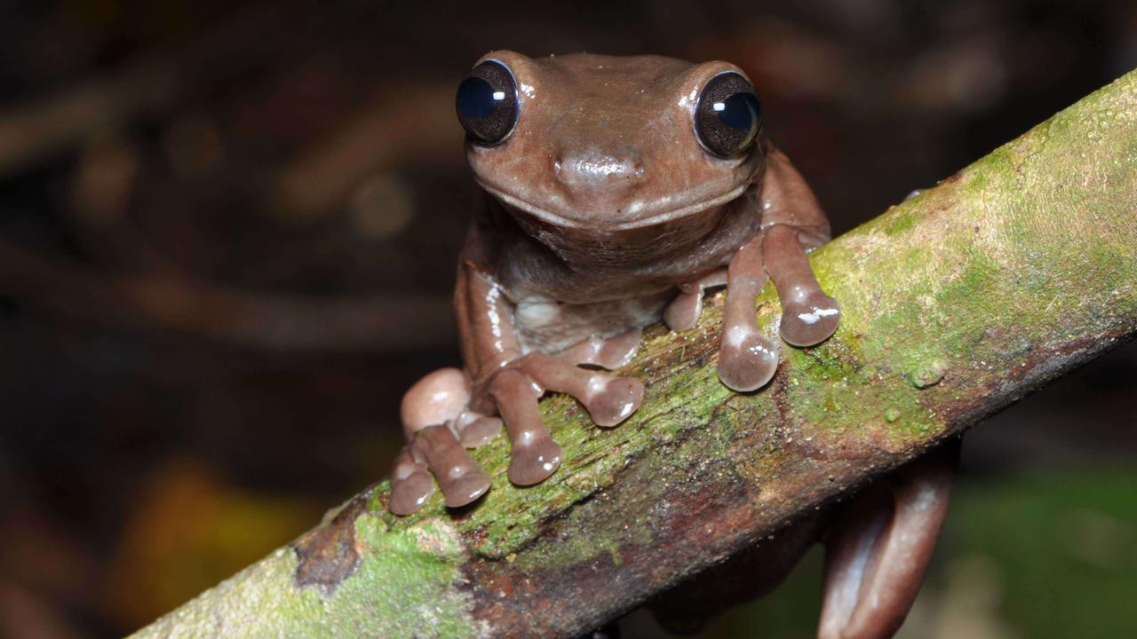 Australians Find Chocky Frog In Fetid Swamp