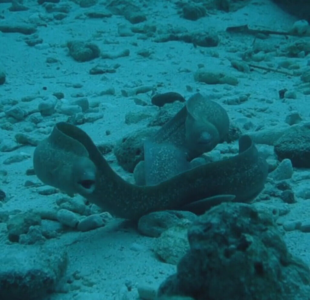 VIDEO: I Don't Eel So Well: Giant Moray Eels That Die After Their Bizarre Mating Ritual