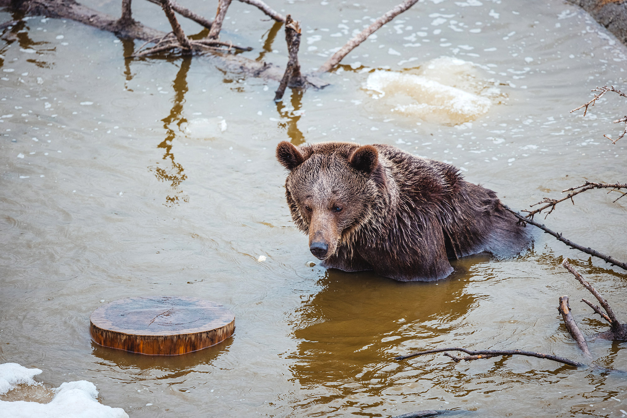 VIDEO: I Can Bear-ly Believe It: Rescued Circus Bear Wakes Up In Her Snowy Winter Wonderland