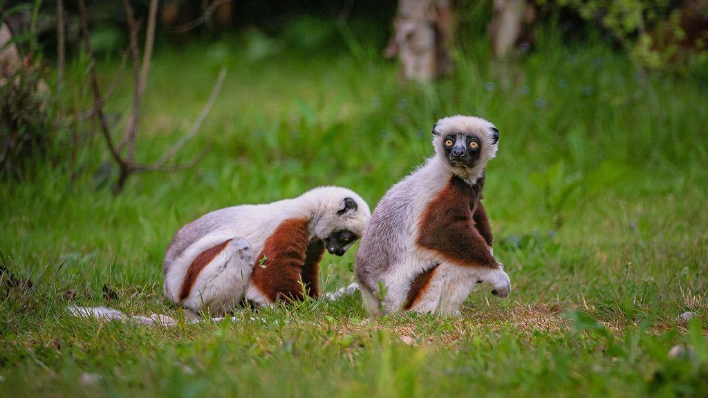 VIDEO: Saturday Night Lemur: Critically Endangered Dancing Lemurs Head To New Breeding Program