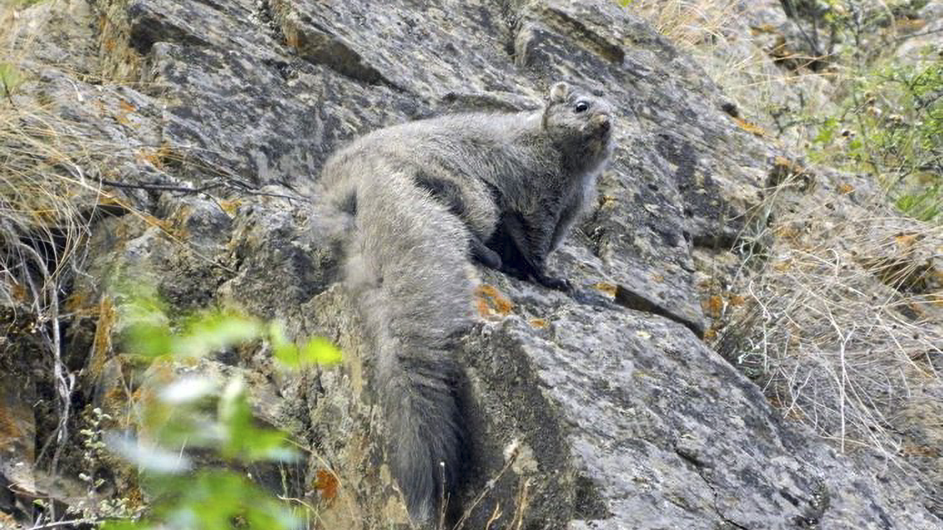 Two New Species Of Woolly Flying Squirrels Discovered In The Himalayas