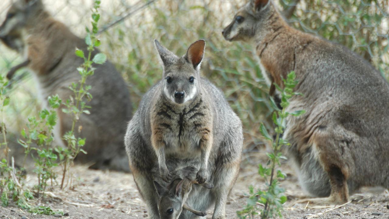 Australian Island State's Golf Club Drops Wallaby Cull