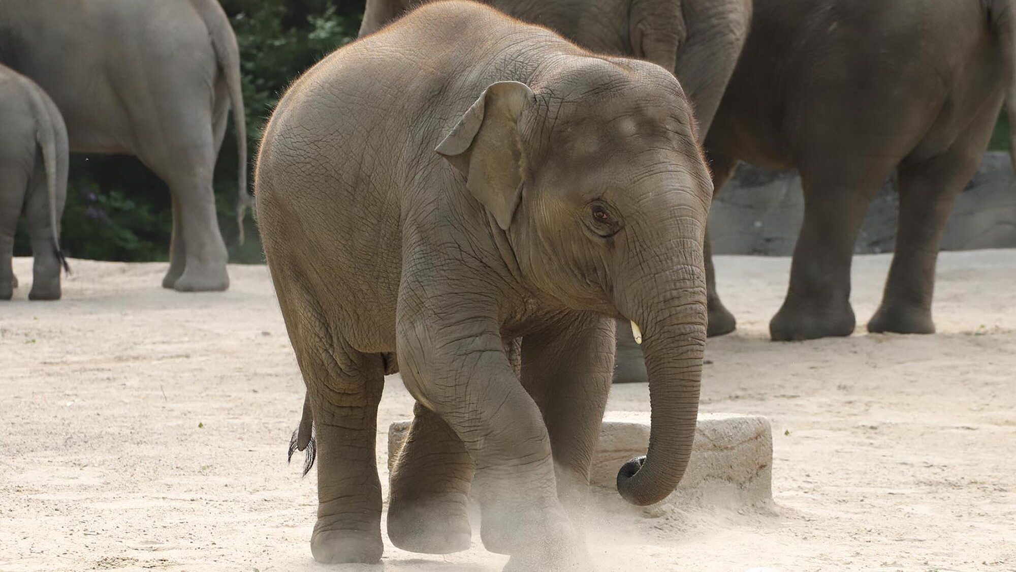 Elephant Psy-Kick: Zoo Tusker To Predict Euro Soccer Results
