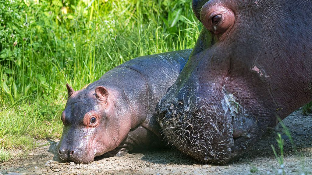 VIDEO: Hippo Hop Star: Cute Calf Leaps In For Her Pool Debut