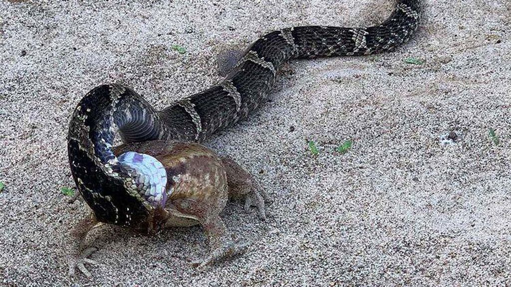 VIDEO: Frog Tries To Hop It After Being Swallowed Whole By Snake