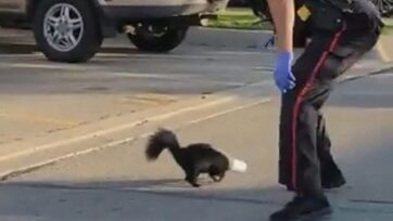 Police officer rescues skunk with cup stuck on its head in Toronto, Canada. (Peel Regional Police/Zenger News)
