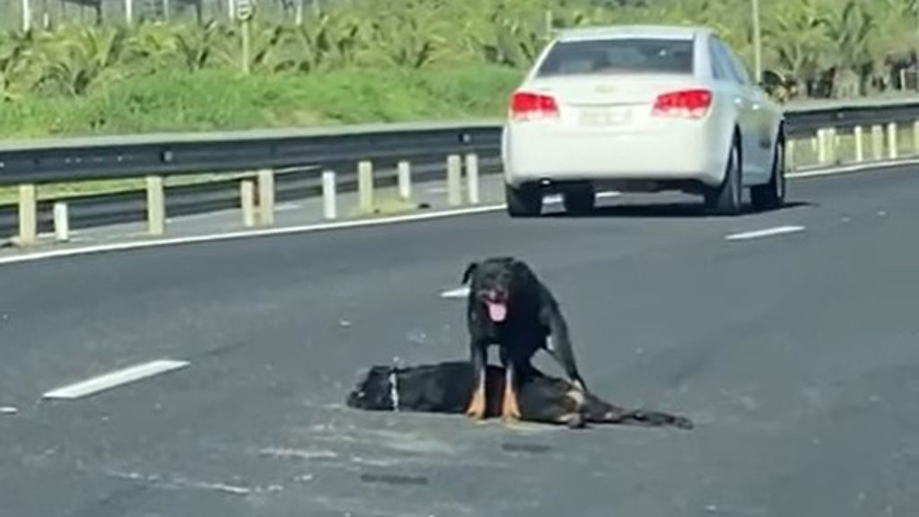 VIDEO: Puppy Love: Grieving Dog Stands Guard Over Her Friend's Body In The Middle Of A Highway
