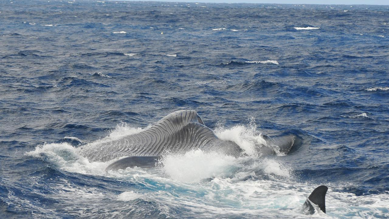 Bomb Detectors Aid Discovery Of Rare Whale: Australian Scientists