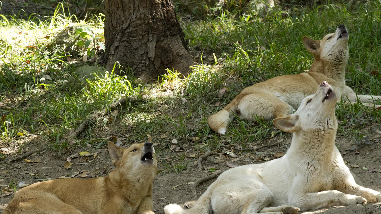 Camera Collars For Australian Wild Dogs