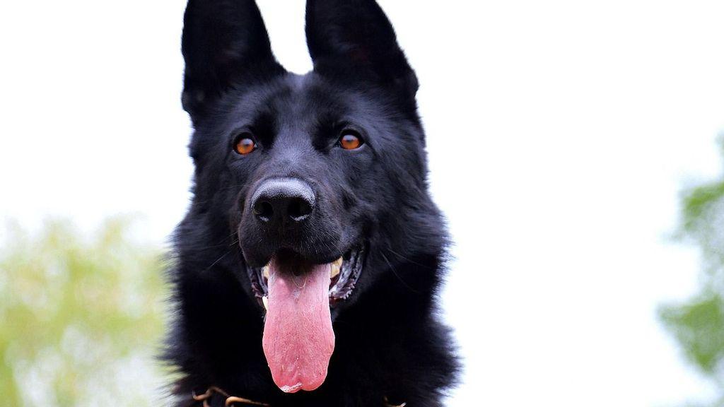 Calupoh: el perro mexicano con sangre de lobo