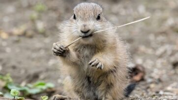 One of the two female prairie dog pups born in the Vienna zoo in April. (Daniel Zupanc/Zenger News)