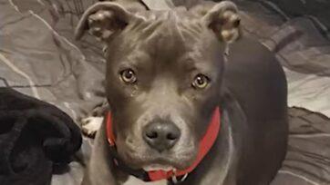 The dog stolen in the area of Baystate Avenue and E. Evans Avenue in Pueblo, Colorado, on May 23. (Pueblo Police/Zenger News)