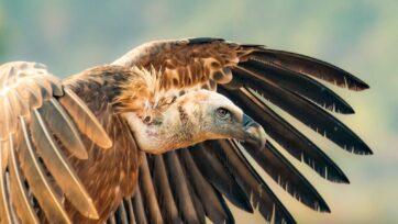 Vulture in the Carmel Forest of Israel. (© Dafna Ben Nun)