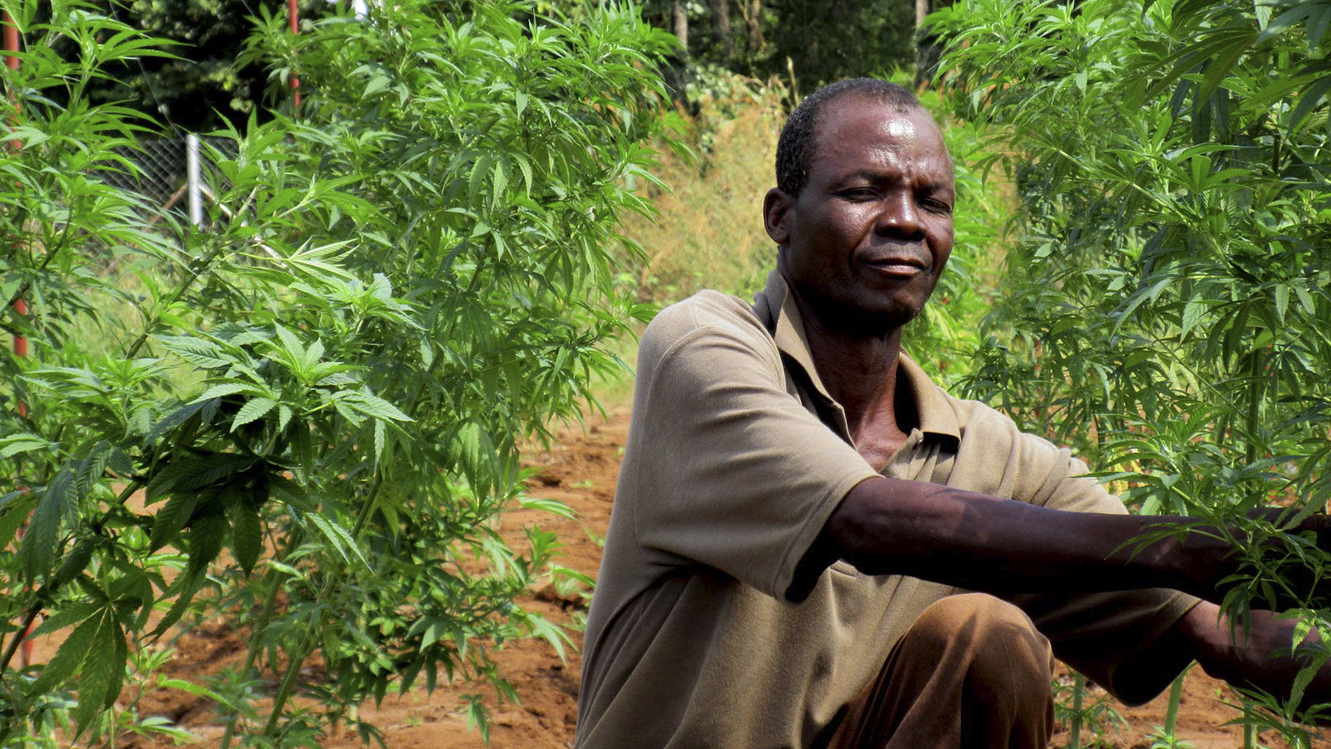Malawi To Go High On Weed