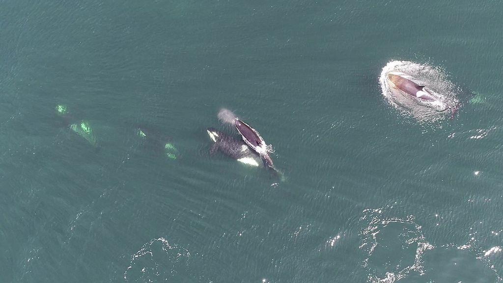 VIDEO: Drone Footage Reveals The Secret Social Lives Of Killer Whales