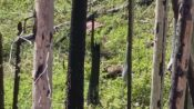 VIDEO: Grizzly Scare: Black Bear Flees Up Tree To Escape Giant Rival