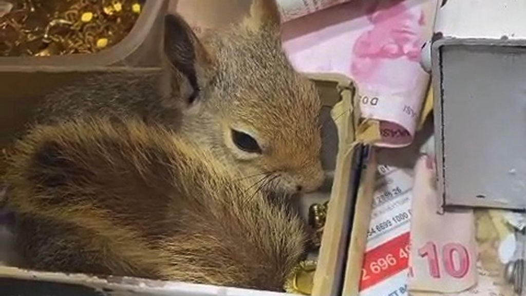 VIDEO: Nut On My Watch: Rescued Squirrel Stands Guard Over Cash Drawer