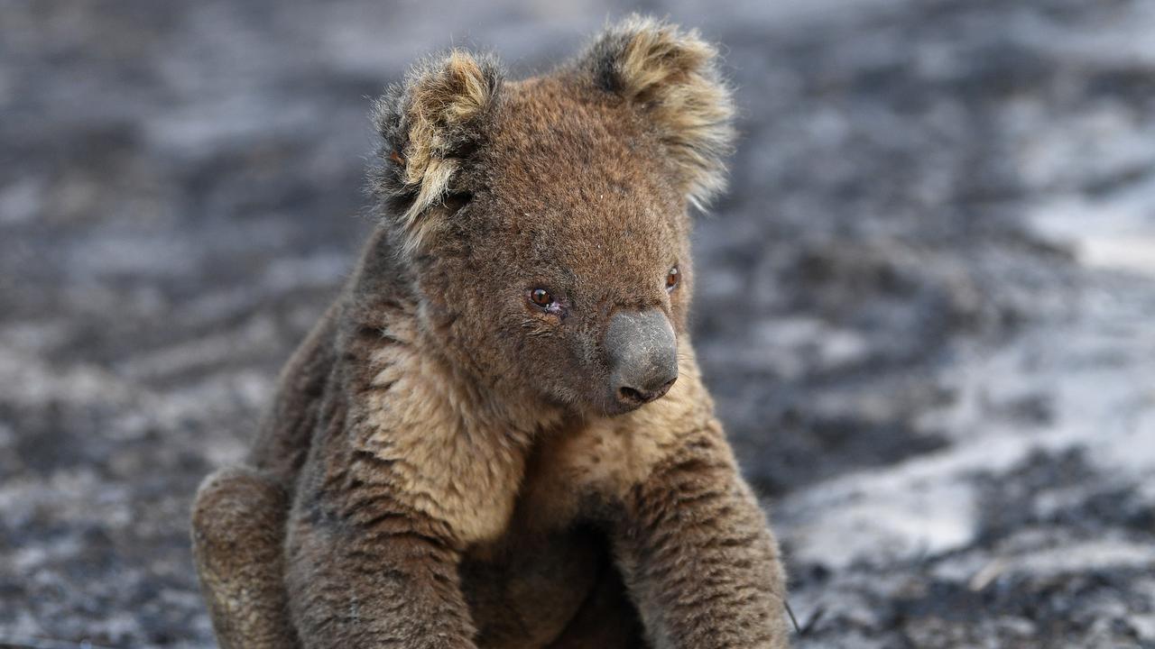 Koala Scares: Iconic Aussie Animals Could Soon Be Extinct
