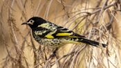 Singing To Honeyeaters Helps Them Thrive: New Australian Research