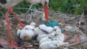 VIDEO: Documentary Star Stork Protects Chicks From Hailstorm