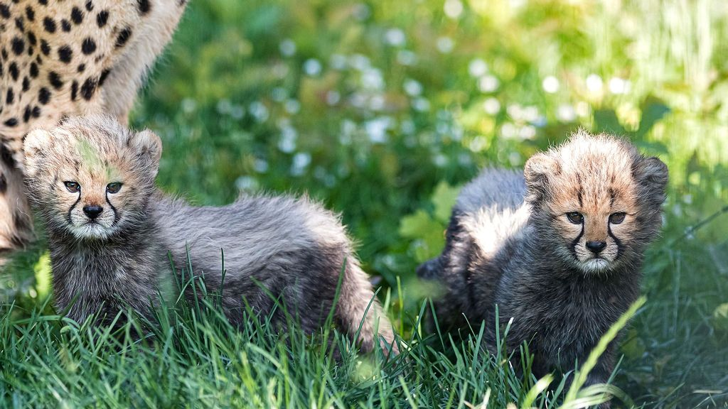 VIDEO: Cheet-ahhhhhs: Adorable Newborn Cubs On Their First Time Out Of The Den