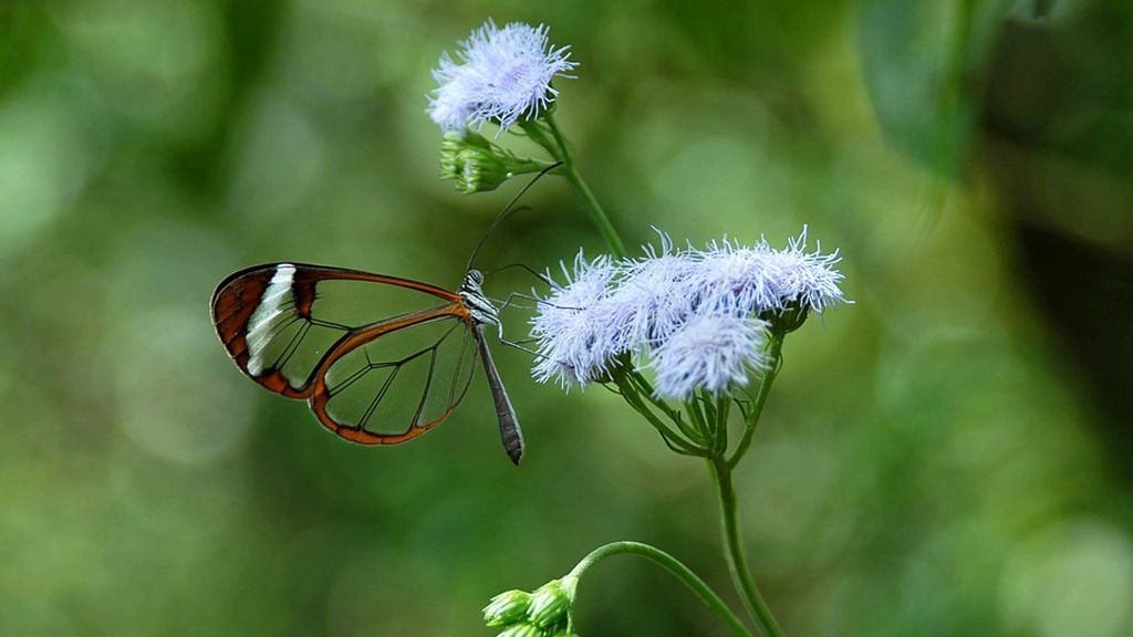 VIDEO: Scientists Marvel At Glasswing Butterfly Anti-Glare Coating