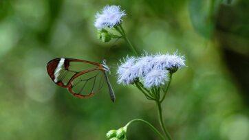 Una mariposa cristal libando flores en Costa Rica. (Nipam Patel/Zenger News)
