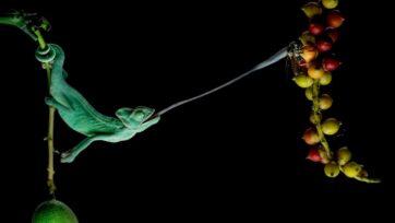 A lizard hunting. (@ajarsetiadi/Zenger News)