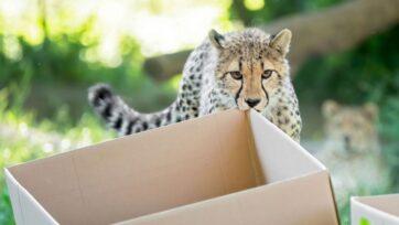 The first birthday of the cheetah quadruplets in the Tiergarten Schonbrunn Zoo in Vienna, Austria. (Daniel Zupanc/Zenger News)