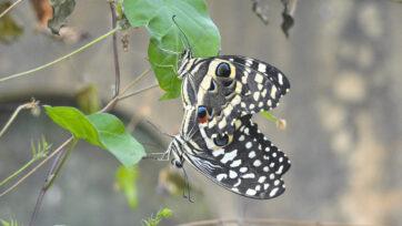 210623_N_ButterflyFarming_01