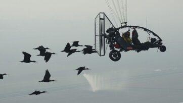 Flight of the northern bald ibis. (Waldrappteam Conservation & Research, J. Fritz/Zenger News)