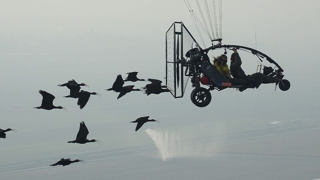 VIDEO: Where Eagles Scare: The Microlight Pilot Who Saves Endangered Ibises From Birds Of Prey