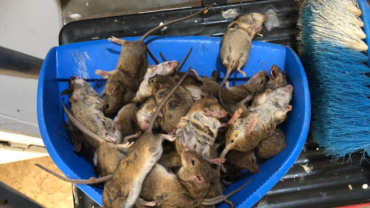 Mouse 'Napalm' Knocked Back By New South Wales Authorities