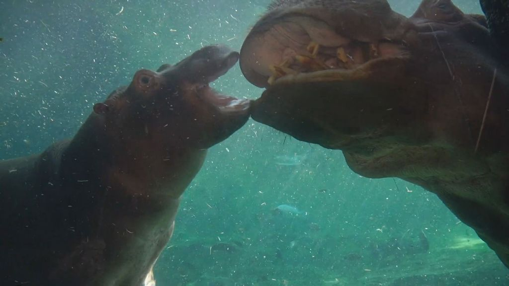 VIDEO: Diving In: Hippo Calf Goes Underwater Exploring At Spanish Zoo