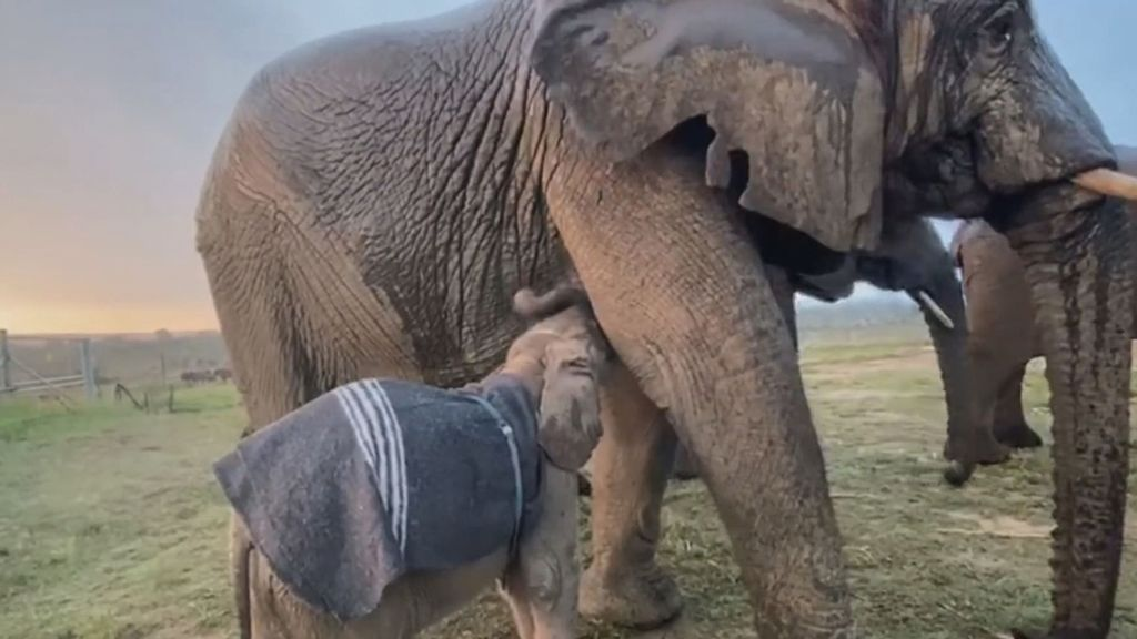 VIDEO: Dumbo-lievably Cute: Albino Elephant Calf Frolics After Rescue From A Poacher's Snare