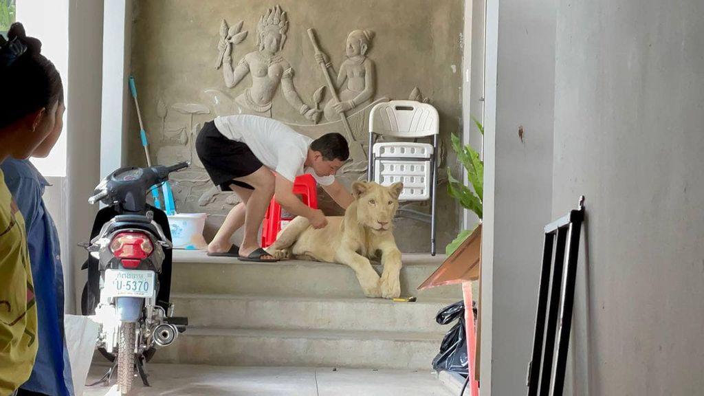 Policía rescató a enorme león, 'mascota' de una familia