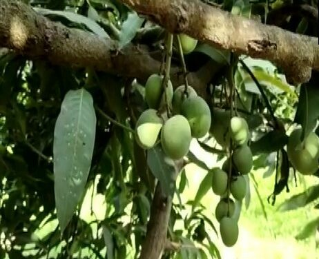 Incredible India: One Mango Tree With 121 Varieties Of Fruit