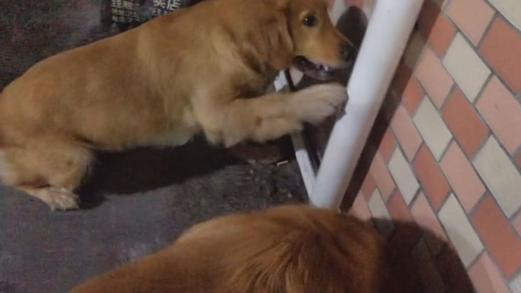 VIDEO: Yappy Ever After: Pup Barks At Drainpipe To Save Trapped Kitten