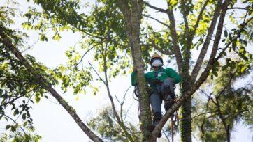 Trabajadores deben trepar a las corolas de los árboles para rescatar su ADN y replicarlo en el laboratorio. (Cortesía de Vale).