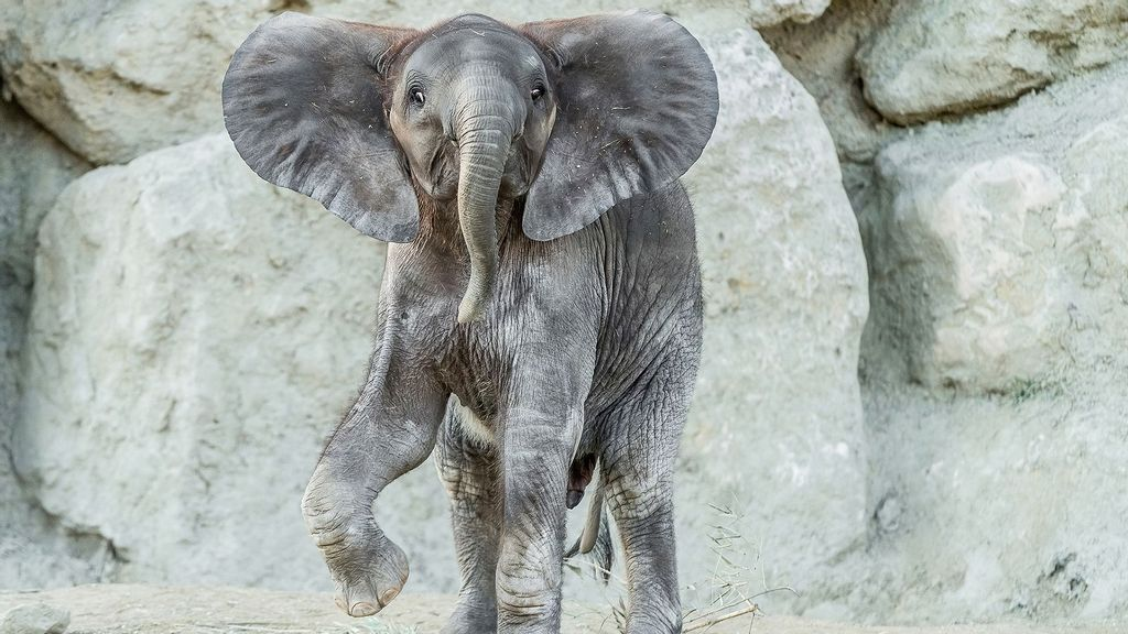 <p>Remembering Kibali playing at the Vienna Zoo in Austria in May 2020. She died on June 10 of a heart attack. (Daniel Zupanc/Zenger)</p>
