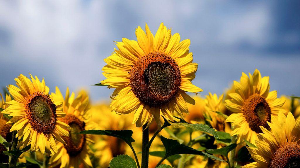 Genetic Analysis Helps Predict Sunflower Oil Properties