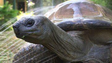 Schurli, the 130-year-old tortoise who died at the Tiergarten SchönbrunnZoo in Vienna, Austria, on July 11, 2021. (Tiergarten Schönbrunn/Zenger)
